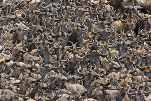 Suzi Esterhas documented wildebeest migrations from 2006 through 2009.