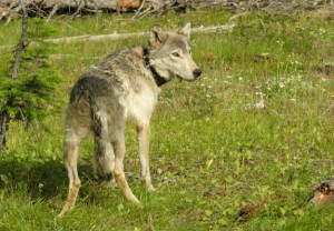"Wolf ""B300"" was the first to enter Oregon ans remain there. The wolf would form a pack and has since produced multiple pups. Photo courtesy of WHAT."