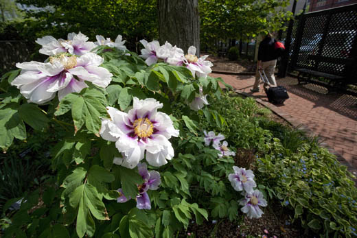 A tree peony blooms in the Mary Ripley Garden. Photograph by Eric Long