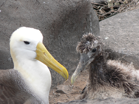 An albatross with chick