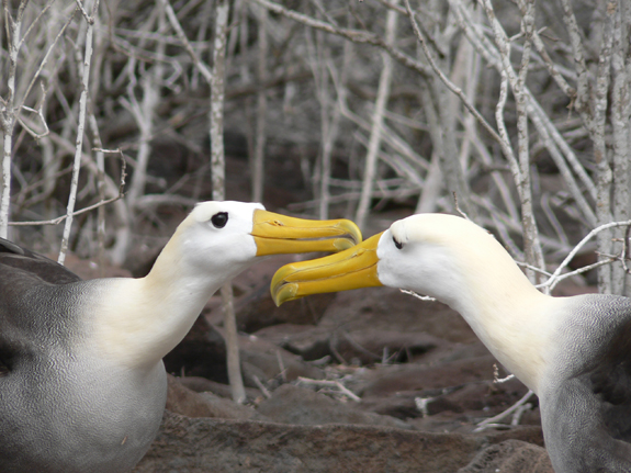 Two waved albatross courting