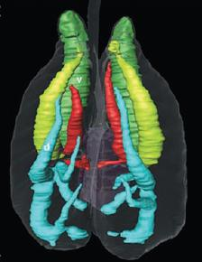 A CT scan of the respiratory pathways inside an alligator. From the Science paper.