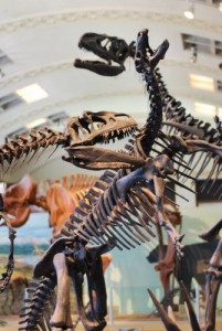An Allosaurus (right) attacks a Camptosaurus (left), while another Allosaurus looms in the background. Photographed at the Utah Museum of Natural History.