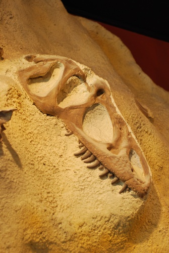A cast of the skull of Allosaurus, photographed at the Utah Museum of Natural History.