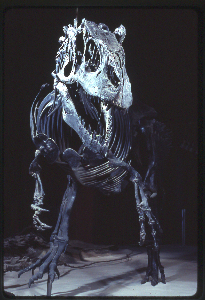 The Allosaurus skeleton on display at the Smithsonian.