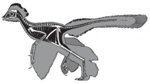 A restoration of Anchiornis, from the Nature paper.