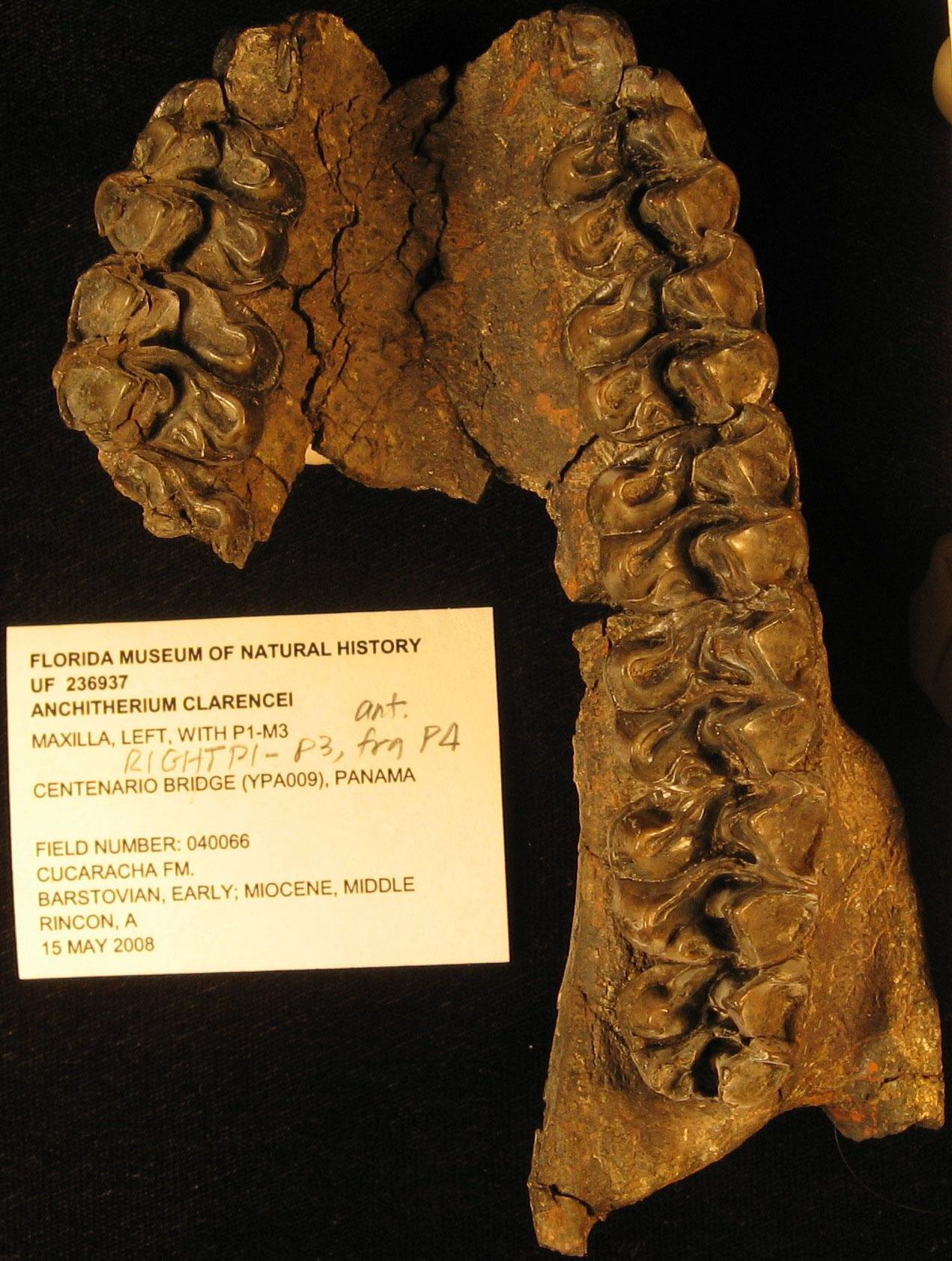 Teeth belonging to the three-toed browsing horse were unearthed in a Panama Canal widening site. Proof that the horse's range expanded from South Dakota to Panama 15-to-18 million years ago. (Courtesy of STRI.)