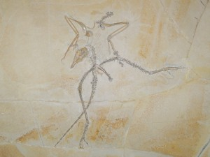 The Archaeopteryx fossil, from Wikicommons