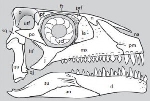 The restored skull of Azendohsaurus. From the Palaeontology paper.
