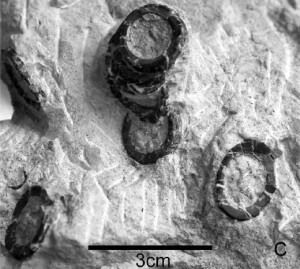 The vertebrae of an embryonic ichthyosaur preserved in the stomach of a plesiosaur. From the Journal of Vertebrate Paleontology paper.