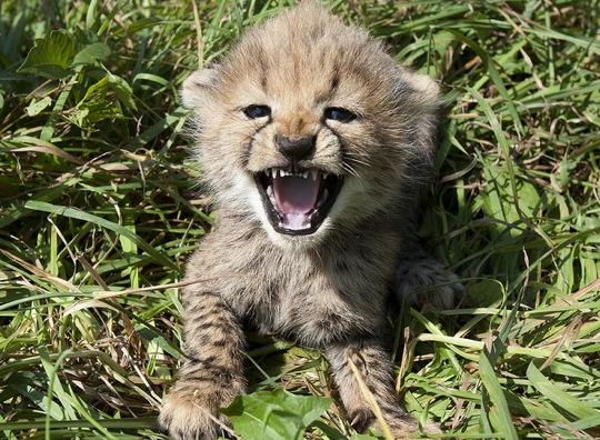 our baby cheetahs teaches the cheetahs shipping delay please allowReally Cute Baby Cheetahs
