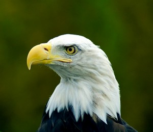 A bald eagle as the new mascot? From Flickr user BL 1961.