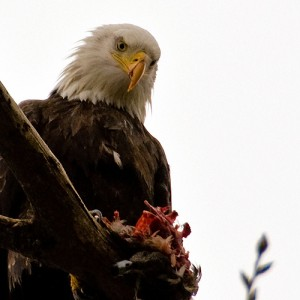A bald eagle in California (courtesy of flickr user -will wilson-)