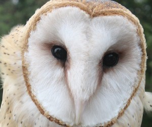 Live cameras are trained on the nests of birds across North America (barn owl image courtesy of flickr user myoldpostcards)