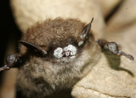 This little brown bat, found in a New York cave in October 2008, exhibits the telling sign of the white-nose syndrome: white fungus around the nose. Photo by Ryan von Linden/New York Department of Environmental Conservation.
