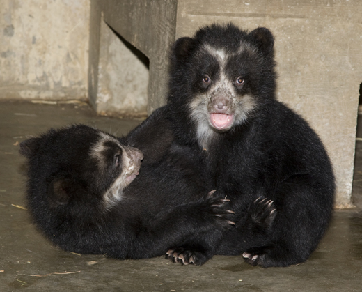 The Andean Bear cubs (Boy Cub is on the left; Girl Cub is on the right) recently came out of the den for the first time. Photo by Mehgan Murphy.