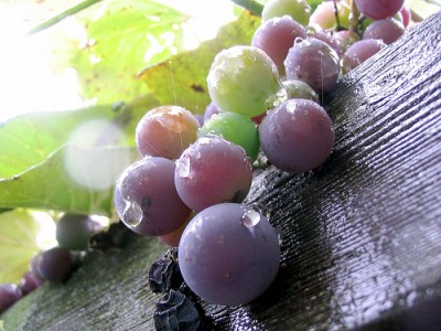 Wine grapes, courtesy Flickr user Bensheldon