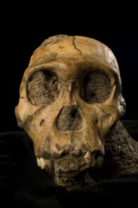 One of our newest relatives, a juvenile male Australopithecus sediba (photo by Brett Eloff courtesy of Lee Berger and the University of Witwatersrand)