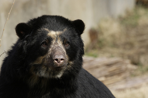 Billie Jean, the National Zoo's four-year-old Andean bear, gave birth to twin cubs in January. The cubs have yet to come out of the dean, which means their gendes still remains a secret.