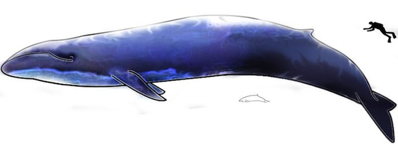 Sometimes Blue Whales Do Barrel Rolls While They Eat   Smart News ...