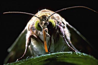 bollworm.jpg
