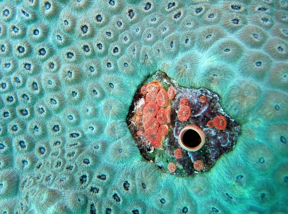 Boring sponges embedded in star coral