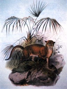 A drawing of a Borneo Bay cat (via Wikimedia Commons)