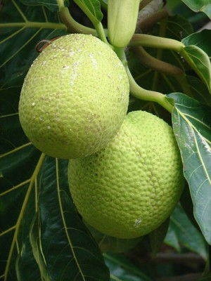 Breadfruit, courtesy Flickr user library_dragon
