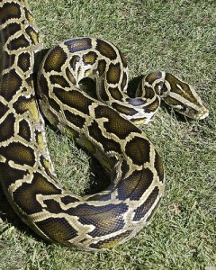 A Burmese python (courtesy of flickr user aehack)