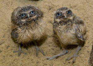 Baby burrowing Owls strike an inquisitive pose for the camera. Photo courtesy of the Zoo
