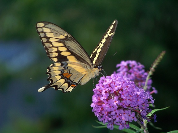 Real Life Butterfly Pictures a Southern butterfly