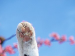 Which paw does your cat favor? (courtesy of flickr user tanakawho)