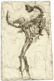 An illustration of Caudipteryx, one of the skeletons on display at the Chinasaurs exhibit.
