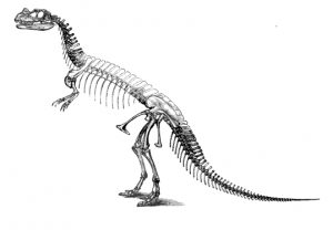 The skeleton of Ceratosaurus, from The Dinosaurs of North America.