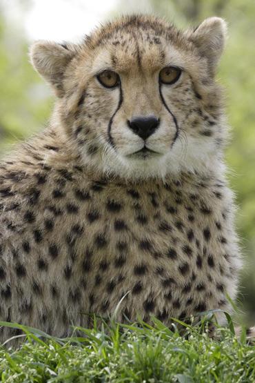cheetah_sept28