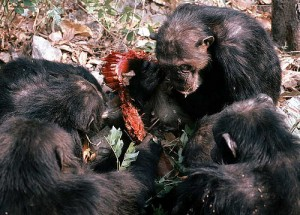Gombe chimps eating a red colobus monkey (courtesy of flickr user kibuyu)