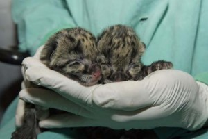 Yesterday's birth was the first time since 1993 that clouded leopards were born at the National Zoo.