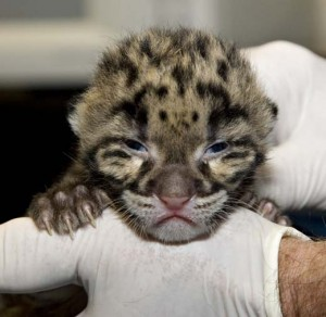 Clouded Leopard, courtesy of Mehgan Murphy, Smithsonian National Zoo