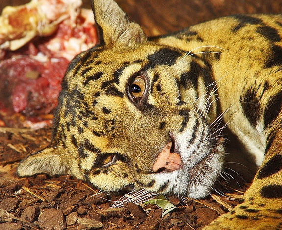 The Only Clouded Leopard Left in - 199.8KB