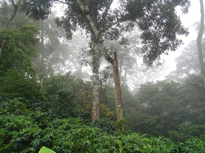 Shade-grown coffee bushes in the Honduran cloud forest, Courtesy of Flickr user Adel-Honduras