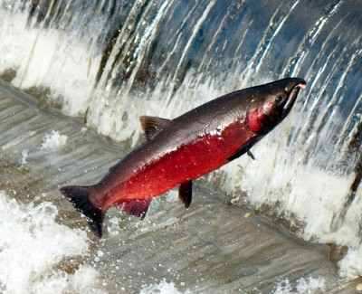 "Coho salmon spawning, courtesy Flickr user ""Soggydan"" Dan Bennett"
