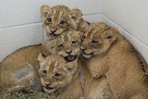 Four of the lion cubs born at the National Zoo this past summer. Photo by Meghan Murphy, courtesy of the National Zoo.