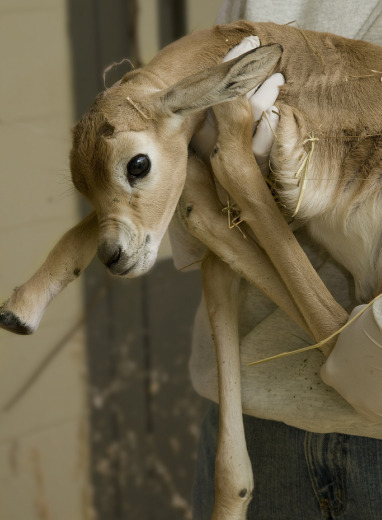 The newest member of the Zoo's roster, a female dama gazelle, was born October 2. Photo by Mehgan Murphy.