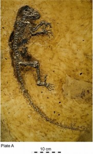 The exceptionally-preserved skeleton of Darwinius. From PLoS One.