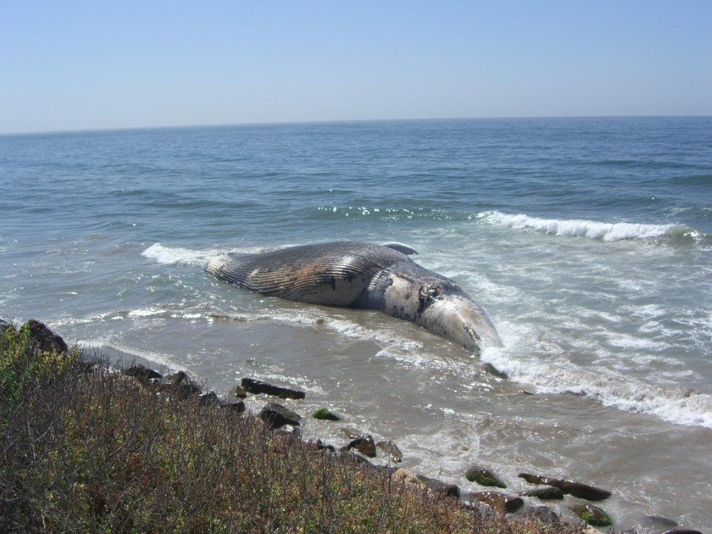 a study on blue whales How do whales and dolphins sleep without drowning share on facebook share on twitter  marine mammals such as whales and dolphins spend their entire lives at sea.