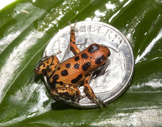 The strawberry dart frogs grow to be smaller than a quarter. This frog measures about half the size of a dime. Courtesy of the National Zoo.