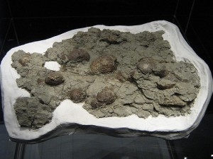 A clutch of fossilized dinosaur eggs on display at the Royal Tyrrell Museum in Canada. From Flickr user Traumador.