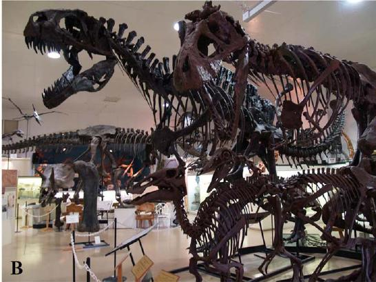 Dinosaur skeletons scanned for the PLoS paper. From left to right: (Background) - Acrocanthosaurus and Tyrannosaurus; (Foreground) Edmontosaurus and Struthiomimus