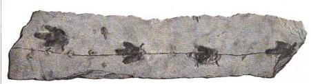 A slab of Triassic rock containing dinosaur tracks. From Ichnology of New England.