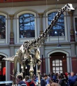 The skeleton of Diplodocus on display in Berlin's Naturkundemuseum. From Wikimedia Commons.